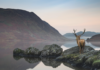 stag looking out over lake